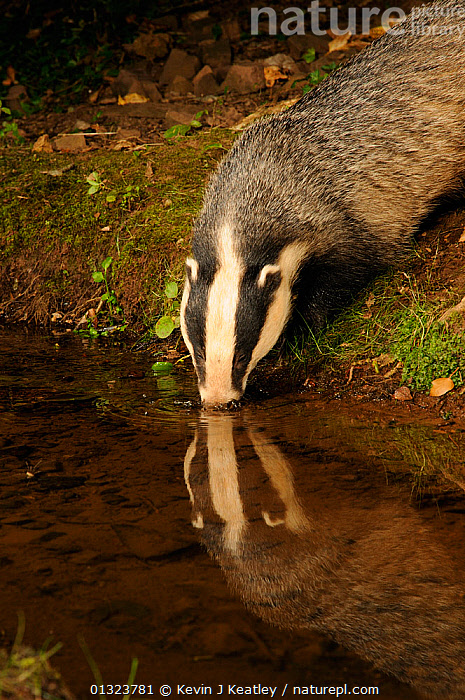 Badger (Meles meles) drinking at stream, with reflections, Mid Devon, England, August  ,  BADGERS,CARNIVORES,DRINKING,ENGLAND,MAMMALS,MUSTELIDS,NIGHT,NOCTURNAL,PORTRAITS,STREAMS,UK,VERTEBRATES,VERTICAL,WATER,WOODLANDS,Europe,United Kingdom  ,  Kevin J Keatley