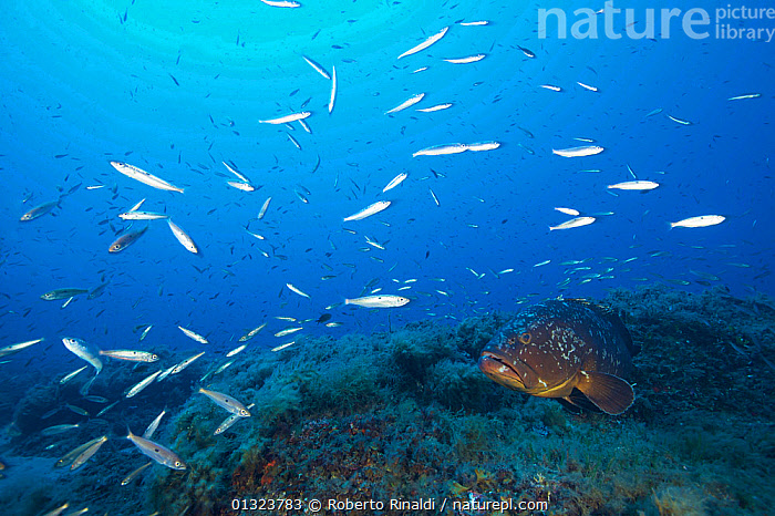 Dusky grouper (Epinephelus marginatus) surrounded by Blotched picarel / Menola (Spicara maena) off the coast of Capraia. Tuscany, Italy, August.  ,  EUROPE,FISH,GROUPERS,ITALY,MARINE,MEDITERRANEAN,MIXED SPECIES,NP,OSTEICHTHYES,PICARELS,TEMPERATE,UNDERWATER,VERTEBRATES,National Park,core collection xtwox  ,  Roberto Rinaldi