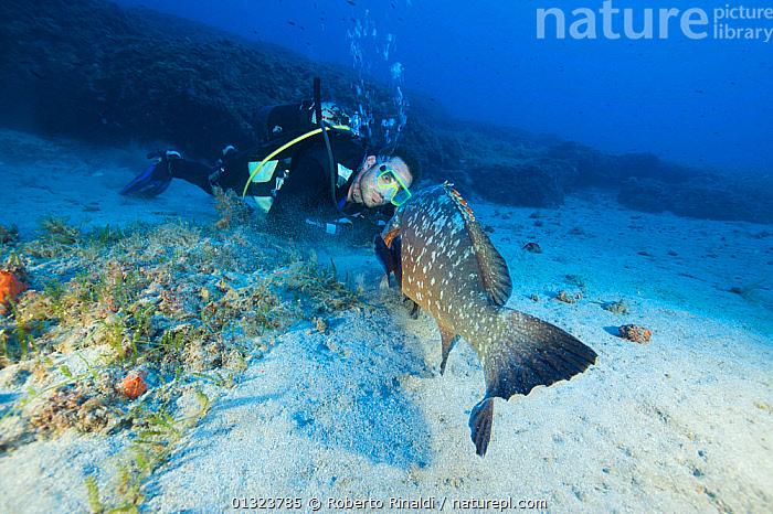 Diver interacting with Dusky grouper (Epinephelus marginatus) off the coast of Capraia. Tuscany, Italy, August.  ,  AIR,BUBBLES,COMMUNICATION,DIVING,EUROPE,FISH,GROUPERS,INTERACTION,ITALY,MAN,MARINE,MEDITERRANEAN,NP,OSTEICHTHYES,PEOPLE,SEA BED,TEMPERATE,UNDERWATER,VERTEBRATES,National Park,core collection xtwox  ,  Roberto Rinaldi