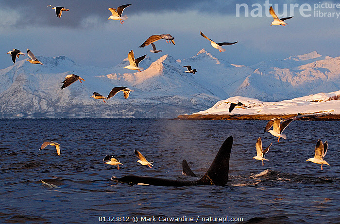 Gulls flying above two Killer whales / Orcas (Orcinus orca) surfacing, Tysfjord, Norway, November, ARCTIC,ATLANTIC,BIRDS,CETACEANS,COASTS,DELPHINIDAE,DOLPHINS,EUROPE,GROUPS,GULLS,LANDSCAPES,LARINAE ,MAMMALS,MARINE,MIXED SPECIES,NORWAY,SCANDINAVIA,SEABIRDS,SNOW,SURFACE,TEMPERATE,VERTEBRATES,core collection xtwox, Mark Carwardine