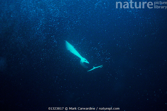 Killer whale / Orca (Orcinus orca) hunting Herring by turning upside-down underneath shoal and stunning the fish with its tail, Tysfjord, Norway, November  ,  ARCTIC,ATLANTIC,BEHAVIOUR,BUBBLES,CETACEANS,DELPHINIDAE,DOLPHINS,EUROPE,FISH,HERRINGS,HUNTING,MAMMALS,MARINE,NORWAY,PREDATION,SCANDINAVIA,TEMPERATE,UNDERWATER,VERTEBRATES  ,  Mark Carwardine