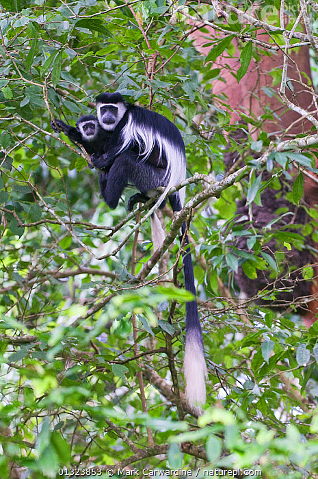 Black and white colobus monkeys (Colobus guereza) mother and baby in tree, Queen Elizabeth National Park, Uganda, Africa, October  ,  AFRICA,BABIES,CERCOPITHECIDAE,COLOBUS MONKEYS,EAST AFRICA,MAMMALS,MONKEYS,MOTHER BABY,NP,PRIMATES,RESERVE,TREES,UGANDA,VERTEBRATES,VERTICAL,National Park,PLANTS  ,  Mark Carwardine