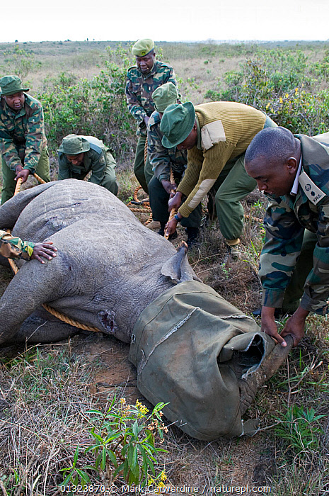 Black rhinoceros (Diceros bicornis) - darted and being prepared for translocation by rangers from the Kenya Wildlife Service, Nairobi National Park, Kenya, Endangered / threatened species, April 2007  ,  AFRICA,ANAESTHETIC,CONSERVATION,EAST AFRICA,MAMMALS,NP,OUTDOORS,PEOPLE,PERISSODACTYLA,RESERVE,RHINO,RHINOCEROSES,RHINOCEROTIDAE,TRANSLOCATION,VERTEBRATES,VERTICAL,VET,National Park , rhino, Rhinoceros, Rhinos,  ,  Mark Carwardine