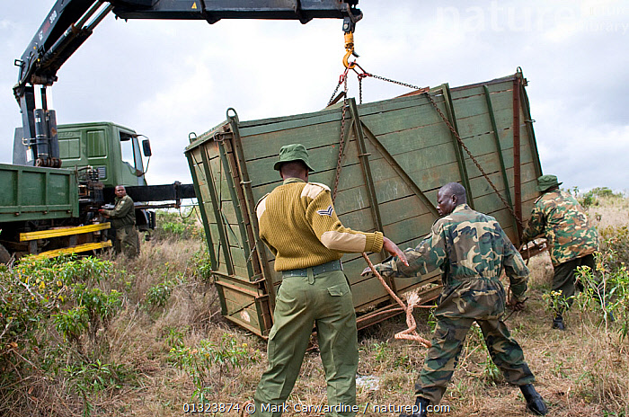 Black rhinoceros (Diceros bicornis) inside wooden crate and being loaded onto a truck for translocation to another park by rangers from the Kenya Wildlife Service, Nairobi National Park, Kenya, Endangered / threatened species, April 2007  ,  AFRICA,CONSERVATION,EAST AFRICA,MAMMALS,NP,OUTDOORS,PEOPLE,PERISSODACTYLA,RESERVE,RHINO,RHINOCEROSES,RHINOCEROTIDAE,TRANSLOCATION,TRANSPORT,VEHICLES,VERTEBRATES,National Park , rhino, Rhinoceros, Rhinos,  ,  Mark Carwardine