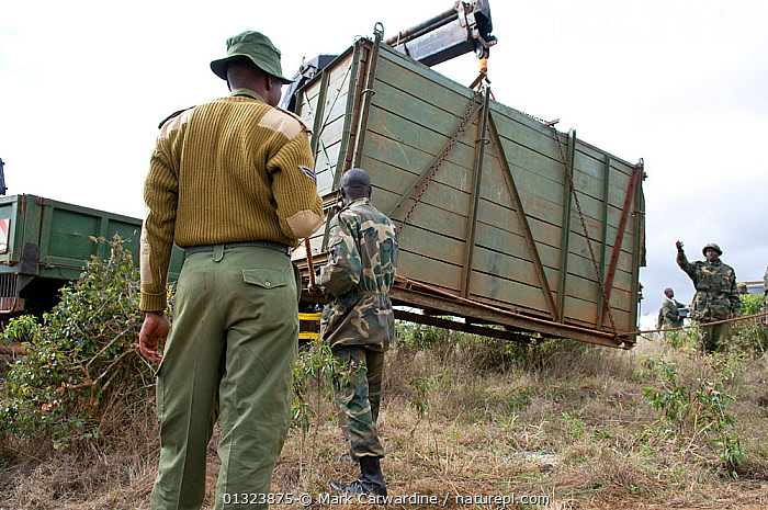 Black rhinoceros (Diceros bicornis) inside wooden crate and being loaded onto a truck for translocation to another park by rangers from the Kenya Wildlife Service, Nairobi National Park, Kenya, Endangered / threatened species, April 2007  ,  AFRICA,CONSERVATION,EAST AFRICA,MAMMALS,NP,OUTDOORS,PEOPLE,PERISSODACTYLA,RESERVE,RHINO,RHINOCEROSES,RHINOCEROTIDAE,TRANSLOCATION,TRANSPORT,VERTEBRATES,National Park , rhino, Rhinoceros, Rhinos,  ,  Mark Carwardine