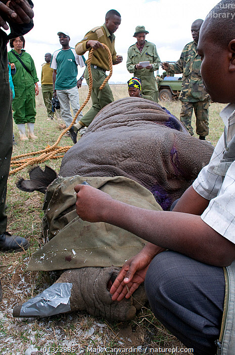Black rhinoceros (Diceros bicornis) - darted and being prepared for translocation by rangers from the Kenya Wildlife Service, Nairobi National Park, Kenya, Endangered / threatened species, April 2007  ,  AFRICA,ANAESTHETIC,CONSERVATION,EAST AFRICA,MAMMALS,NP,OUTDOORS,PEOPLE,PERISSODACTYLA,RESERVE,RHINO,RHINOCEROSES,RHINOCEROTIDAE,TRANSLOCATION,VERTEBRATES,VERTICAL,National Park , rhino, Rhinoceros, Rhinos,  ,  Mark Carwardine