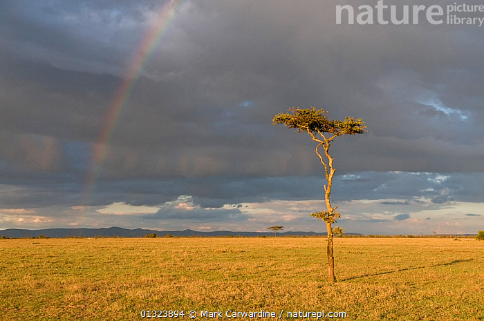 Rainbow at Ol Pejeta Conservancy, Kenya, April 2007  ,  AFRICA,CLOUDS,EAST AFRICA,LANDSCAPES,RAIN,RAINBOWS,RESERVE,SAVANNA,SOLITARY,TREES,Weather,Grassland,PLANTS  ,  Mark Carwardine