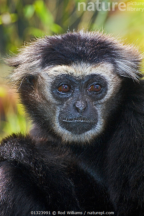 Male Pileated gibbon (Hylobatus pileatus) captive, from Thailand, Cambodia and Laos, Endangered  ,  ASIA,BLACK AND WHITE,ENDANGERED,GIBBONS,GREAT APES,MAMMALS,PORTRAITS,PRIMATES,VERTEBRATES,VERTICAL,Apes  ,  Rod Williams