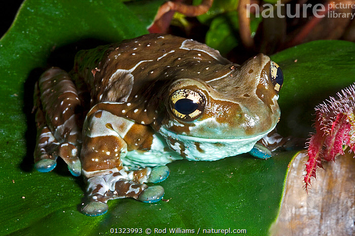 Mission golden-eyed tree frog (Trachycephalus resinifictrix) captive, from North Eastern and Central South America  ,  AMPHIBIANS,SOUTH AMERICA,TREE FROGS,TROPICAL RAINFOREST,VERTEBRATES,Anura,Frogs  ,  Rod Williams