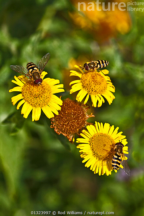 Fleabane (Pulicaria dysenterica) with hoverflies (Syrphidae), UK  ,  ASTERACEAE,COMPOSITAE,DICOTYLEDONS,DIPTERA,EUROPE,FEEDING,FLOWERS,INSECTS,INVERTEBRATES,PLANTS,THREE,UK,YELLOW,United Kingdom  ,  Rod Williams
