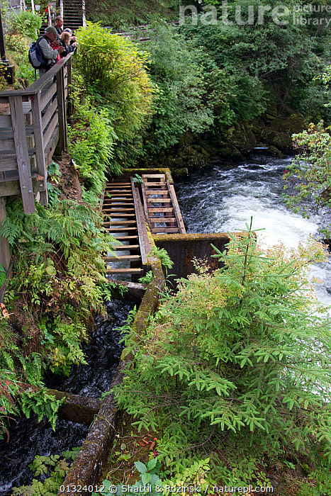 Tourists on boardwalk viewing platform watching salmon spawning along a stream and waterfall in Ketchikan, Alaska, USA. September 2010. A fish ladder to the side of the stream creates an easier route for fish to travel.  ,  FISH,LANDSCAPES,MIGRATION,OUTDOORS,PEOPLE,RIVERS,SALMON,SPAWNING,TOURISM,USA,VERTICAL,WATERFALLS,North America  ,  Shattil & Rozinski