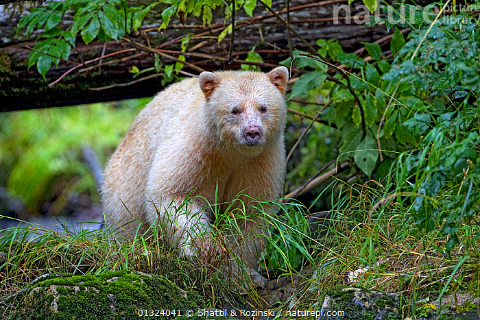 Kermode Spirit Bear (Ursus americanus kermodei) fishing for salmon in the Great Bear Rainforest, moving through the undergrowth, British Columbia, Canada. September  ,  BEARS,CANADA,CARNIVORES,COASTS,MAMMALS,RIVERS,TEMPERATE RAINFOREST,URSIDAE,VERTEBRATES,WHITE,WOODLANDS,North America  ,  Shattil & Rozinski