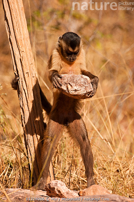Black striped capuchin (Sapajus libidinosus) using rocks to crack nuts, Piaui, Brazil  ,  BEHAVIOUR,BRAZIL,CAPUCHINS,FEEDING,INTELLIGENCE,INTERESTING,MAMMALS,MONKEYS,PRIMATES,SOUTH AMERICA,TOOLS,TOOL USING,TROPICAL,TROPICAL RAINFOREST,VERTEBRATES,VERTICAL  ,  Mary McDonald