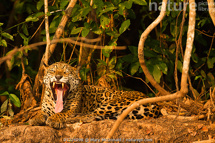 Jaguar (Panthera onca) yawning and resting along riverbank in Pantanal, Brazil  ,  BIG CATS,CAMOUFLAGE,CARNIVORES,ENDANGERED,JAGUARS,MAMMALS,PANTHER,SOUTH AMERICA,SPOTS,TEETH,TIRED,TONGUES,TROPICAL RAINFOREST,VERTEBRATES  ,  Mary McDonald