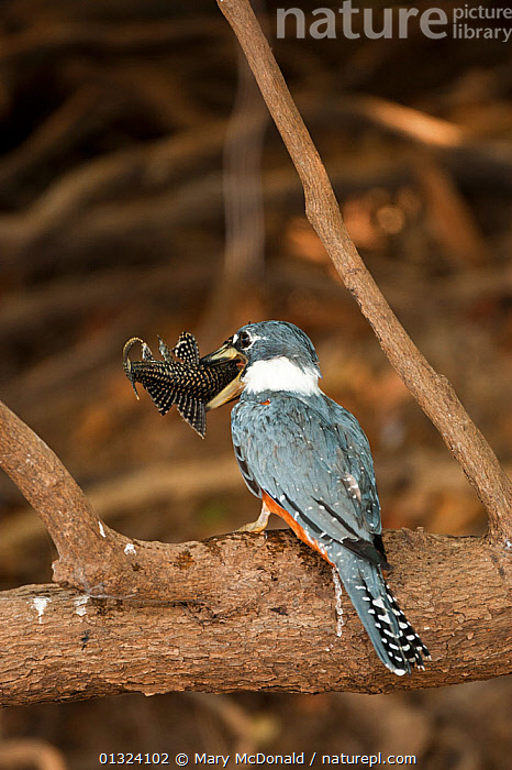 Ringed Kingfisher (Ceryle / Megaceryle torquata) perched  feeding on freshly caught fish, Pantanal, Brazil, August  ,  ALCEDINIDAE,BIRDS,CERYLE TORQUATA,FEEDING,FISH,FISHING,KINGFISHERS,SOUTH AMERICA,TROPICAL RAINFOREST,VERTEBRATES,VERTICAL,WETLANDS  ,  Mary McDonald