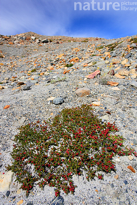 Crowberry / Diddledee bush with berries (Empetrum rubrum) near Laguna Torre, Los Glaciares National Park, Patagonia, Argentina, January 2006  ,  ANDES,ARGENTINA,BERRIES,DICOTYLEDONS,EMPETRACEAE,LANDSCAPES,MOUNTAINS,NP,PLANTS,RED,RESERVE,SOUTH AMERICA,VERTICAL,National Park  ,  Oriol Alamany