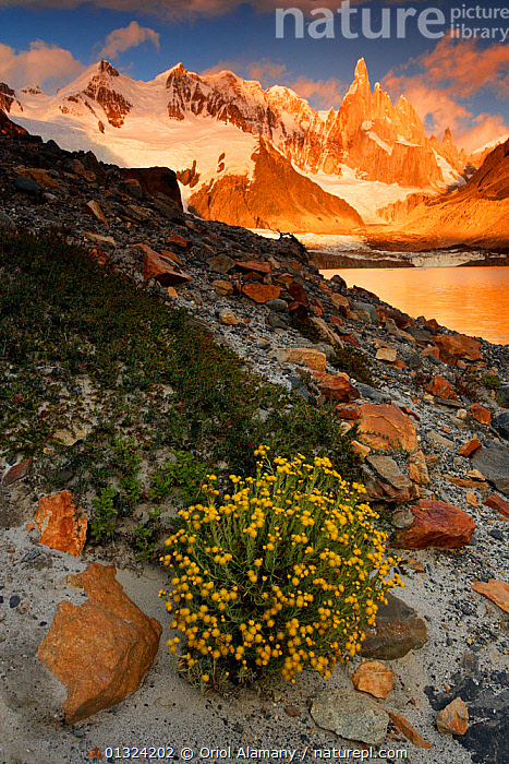 Laguna Torre and Grande glacier below Cerro Torre (3102 m) at dawn, Los Glaciares National Park, Andes, Patagonia, Argentina, January 2006  ,  ARGENTINA,FLOWERS,HABITAT,LAKES,LANDSCAPES,MOUNTAINS,NP,PLANTS,RESERVE,SNOW,SOUTH AMERICA,SUNRISE,VERTICAL,YELLOW,National Park  ,  Oriol Alamany