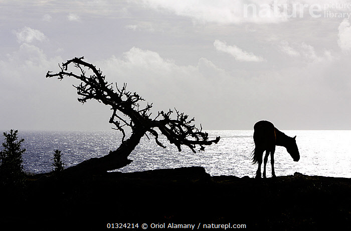 Horse (Equus caballus) and tree silhouetted against the Pacific Ocean in the Northwest coast of Easter Island (Pascua or Rapa Nui), Unesco World Heritage Site, November 2004  ,  COASTS,HORSES,LANDSCAPES,LIVESTOCK,MAMMALS,OCEANIA,PACIFIC ISLANDS,PEACEFUL,PERISSODACTYLA,POLYNESIA,RAPA,RESERVE,SILHOUETTES,TREES,Concepts,PLANTS  ,  Oriol Alamany
