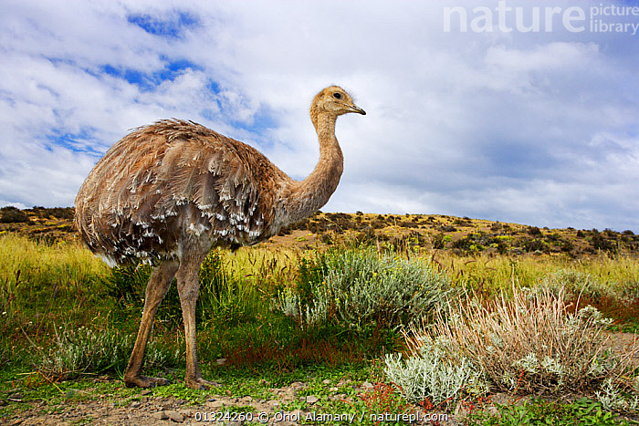 Darwin's Rhea (Rhea pennata), Torres del Paine National Park, Patagonia, Chile, January, Andes, BIRDS, chile, FLIGHTLESS-BIRDS, HABITAT, LANDSCAPES, LESSER-RHEA, NP, RESERVE, RHEA-PENNATA, RHEAS, SOUTH-AMERICA, VERTEBRATES,National Park, Oriol Alamany