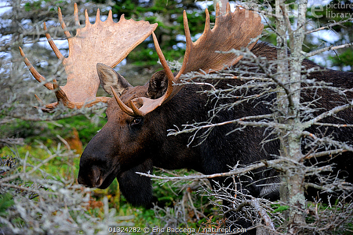 Moose (Alces alces) head portrait of bull standing in forest clearing, Cap Breton Highlands National Park, Nova Scotia, Canada, September  ,  ANTLERS,ARTIODACTYLA,CANADA,CERVIDS,CLOSE UPS,DEER,FORESTS,MALES,MAMMALS,NOVA,NP,SCOTIA,VERTEBRATES,North America,National Park  ,  Eric Baccega