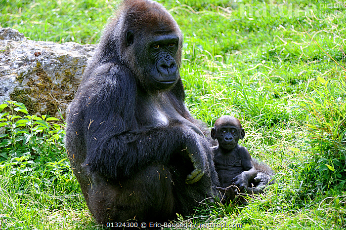 Western lowland gorilla (Gorilla gorilla gorilla) Mother sitting with very small baby, captive, Endangered  ,  BABIES,ENDANGERED,FEMALES,GREAT APES,MAMMALS,MOTHER,MOTHER BABY,PORTRAITS,PRIMATES,SITTING,VERTEBRATES,YOUNG  ,  Eric Baccega