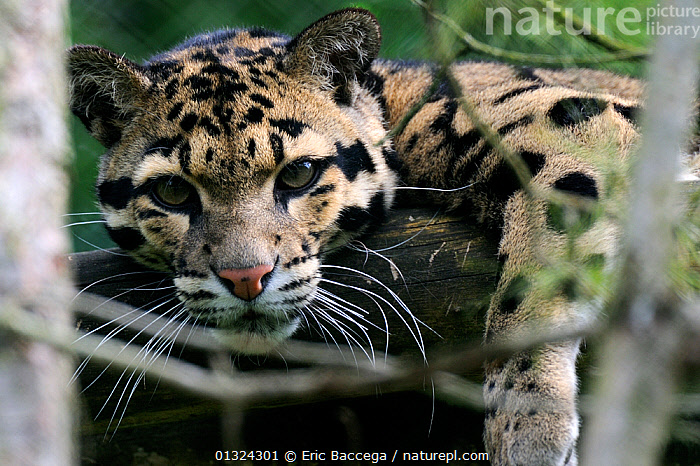 Clouded leopard (Neofelis nebulosa) head portrait,  captive, Endangered  ,  BIG CATS,CARNIVORES,ENDANGERED,EYES,LEOPARDS,MAMMALS,PORTRAITS,VERTEBRATES  ,  Eric Baccega