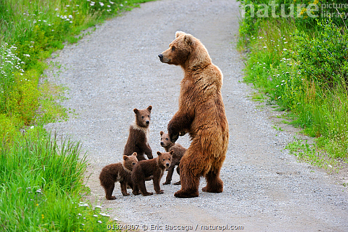 Grizzly bear (Ursus arctos horribilis) mother and four spring cubs, walking along dirt track, Katmai National Park, Alaska, USA, July  ,  BABIES,CUBS,CUTE,FAMILIES,MOTHER,MOTHER BABY,NORTH AMERICA,NP,ROADS,USA,National Park  ,  Eric Baccega