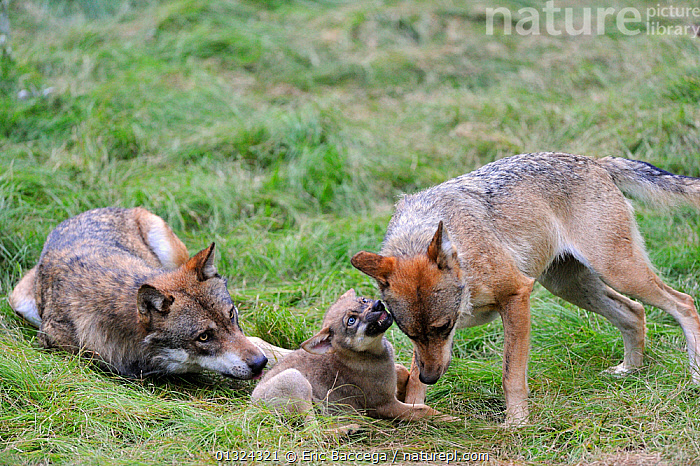 European grey wolves  (Canis lupus) adult playing with a pup aged 2 months, captive, Bayerischerwald National Park, Germany, July  ,  BABIES,BEHAVIOUR,CANIDS,CARNIVORES,CUBS,EUROPE,FAMILIES,MAMMALS,MOTHER,PLAY,VERTEBRATES,WOLVES,YOUNG,Communication,Dogs  ,  Eric Baccega