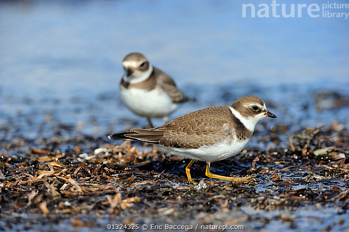 Two Semipalmated plovers (Charadrius semipalmatus) foraging on shoreline, St Lawrence gulf, Kouchibouguac National Park, New Brunswick, Canada, September  ,  BIRDS,CANADA,COASTS,FORAGING,NP,PLOVERS,TWO,VERTEBRATES,WADERS,North America,National Park  ,  Eric Baccega