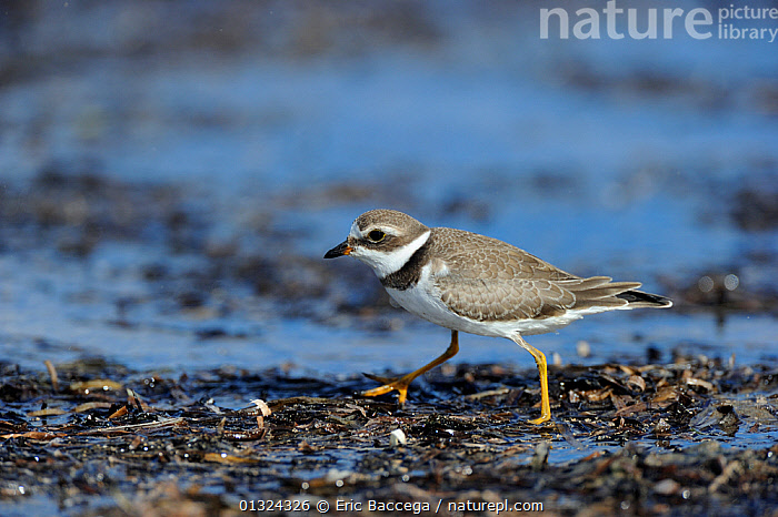 Semipalmated plover (Charadrius semipalmatus) foraging on shoreline, St Lawrence gulf, Kouchibouguac National Park, New Brunswick, Canada, September  ,  BIRDS,CANADA,COASTS,FORAGING,NP,PLOVERS,VERTEBRATES,WADERS,North America,National Park  ,  Eric Baccega