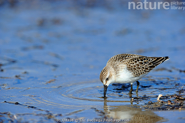 Semipalmated sandpiper (Calidris pusilla) foraging for food on the beach, St Lawrence gulf, Kouchibouguac National Park, New Brunswick, Canada, September  ,  BIRDS,CANADA,COASTS,FEEDING,FORAGING,NP,PLOVERS,VERTEBRATES,WADERS,WATER,North America,National Park  ,  Eric Baccega