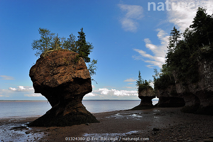 Flowerpot sea stacks with outgoing tide at Hopewell Rocks. The world's highest tides. Bay of Fundy, New Brunswick, Canada, September 2010  ,  ATLANTIC,ATMOSPHERIC,Bay of Fundy,beach,BEACHES,CANADA,catalogue3,CLIFFS,CLOUDS,cloudy,coastal,COASTS,EROSION,Flowerpot sea stacks,FORESTS,Hopewell Rocks,horizon over land,LANDSCAPES,LITTORAL,low tide,LOW TIDE,Natural Landmark,nature,New Brunswick,Nobody,NORTH AMERICA,NP,OCEAN,out of context,outdoors,rock formation,sand,sea,SKY,tourist destination,Travel,Tree,view to sea,WATER,wet,Marine,Geology,Weather,Intertidal,National Park  ,  Eric Baccega