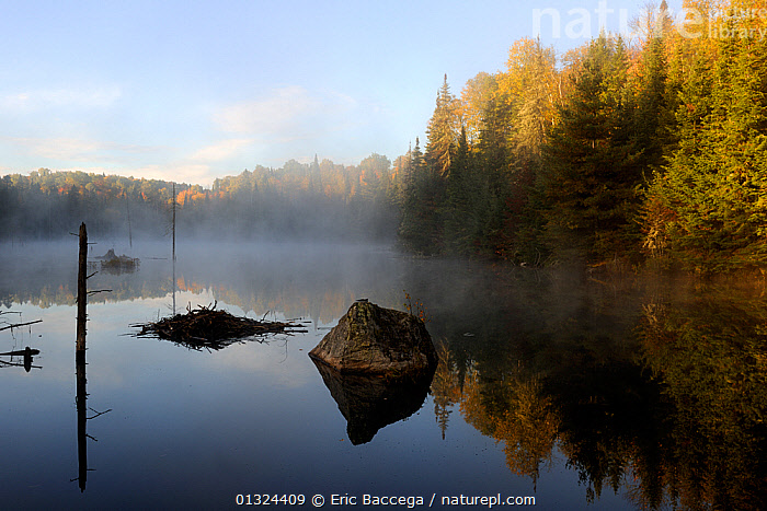 Mist and autumn coloured tress at Bouchard lake. La Mauricie National Park, Quebec, Canada, October 2010  ,  AUTUMN,CANADA,COLOURFUL,FORESTS,LAKES,LANDSCAPES,LEAVES,MIST,NORTH AMERICA,NP,PINE TREES,TREES,National Park,PLANTS  ,  Eric Baccega