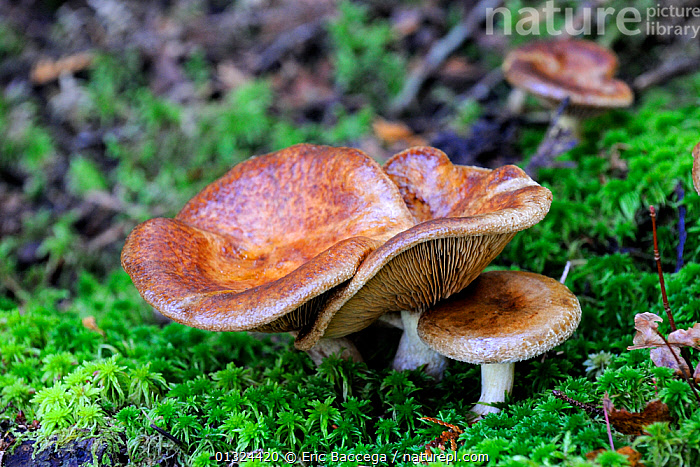 Toadstools, (Paxillus involutus ?), La Mauricie National Park, Quebec, Canada, October  ,  AUTUMN, CANADA, FORESTS, FUNGI, LANDSCAPES, NP, WATER, WOODLANDS,North America,National Park  ,  Eric Baccega