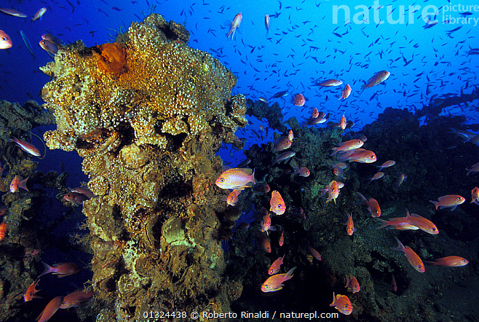 """The encrusted wreck of crude oil super-tanker """"Amoco Milford Haven"""", surrounded by Swallowtail anthias (Anthias anthias). The tanker sank on April 14th, 1991 after three days of fire. Genoa, Italy, 2007.  ,  ANTHIAS,BOATS,BREAM,EUROPE,FISH,HISTORICAL,ITALY,MARINE,MEDITERRANEAN,OIL TANKERS,OSTEICHTHYES,TANKERS,TEMPERATE,UNDERWATER,VERTEBRATES,WRECKS,WORKING-BOATS  ,  Roberto Rinaldi"""