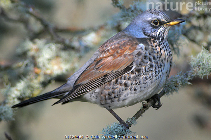 Fieldfare (Turdus pilaris) perched on lichen covered branch iin cider orchard feeding on windfalls apples, Dorset, UK, December  ,  BIRDS,CLOSE UPS,ENGLAND,LICHEN,PORTRAITS,SONGBIRDS,THRUSHES,TURDIDAE,UK,VERTEBRATES,WINTER,Europe,United Kingdom  ,  Colin Varndell