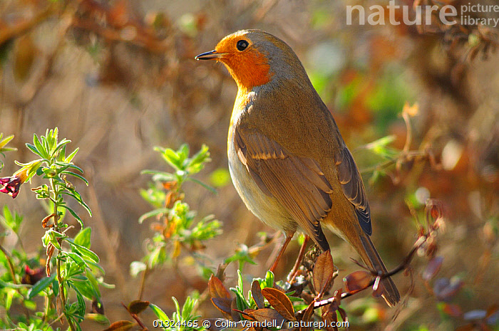 Robin (Erithacus rubecula) in winter, Dorset, UK, December  ,  BIRDS,ENGLAND,ERITHACUS,PORTRAITS,RUBECULA,SONGBIRDS,TURDIDAE,UK,VERTEBRATES,WINTER,Europe,United Kingdom  ,  Colin Varndell