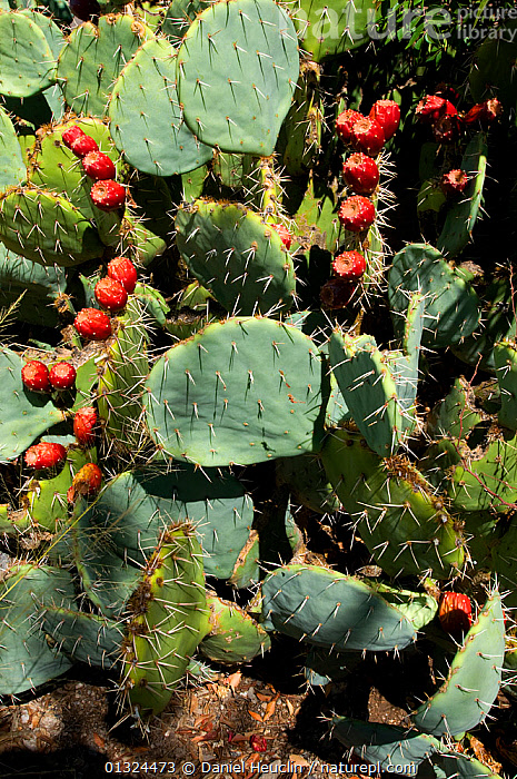 Engelman's Prickly pear (Opuntia engelmani) with fruit, Oliver Lee State park. New-Mexico, USA  ,  CACTACEAE,CACTI,CACTUS,DESERTS,DICOTYLEDONS,FRUIT,NORTH AMERICA,PLANTS,RED,USA,VERTICAL  ,  Daniel Heuclin