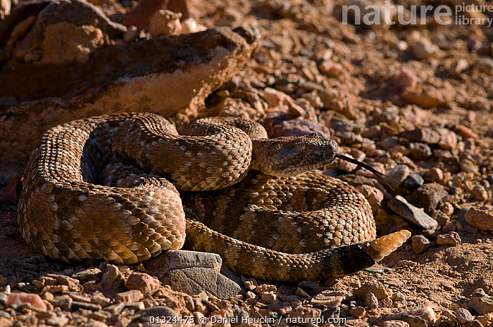Panamint rattlesnake (Crotalus mitchelli stephensi)
