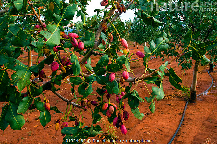Irrigation hose in  Pistachio nut orchard (Pistacia vera) Alamogordo. New-Mexico, USA, August 2009  ,  AGRICULTURE,ANACARDIACEAE,CROPS,DICOTYLEDONS,FARMING,NORTH AMERICA,NUTS,PLANTS,TREES,USA,WATERING  ,  Daniel Heuclin