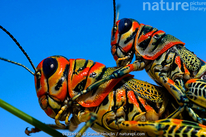 Pair of Rainbow Grasshoppers (Dactylotum bicolor)  mating. Arizona, USA. Controlled conditions.  ,  animal marking,arizona,ARTHROPODS,BEHAVIOUR,blue sky,catalogue3,close up,CLOSE UPS,COLOURFUL,controlled conditions,COPULATION,DESERTS,INSECTS,INVERTEBRATES,MALE FEMALE PAIR,mating,Nobody,NORTH AMERICA,orange colour,ORTHOPTERA,outdoors,Pair,REPRODUCTION,SHORT HORNED GRASSHOPPERS,SKY,two animals,USA,WILDLIFE  ,  Daniel Heuclin