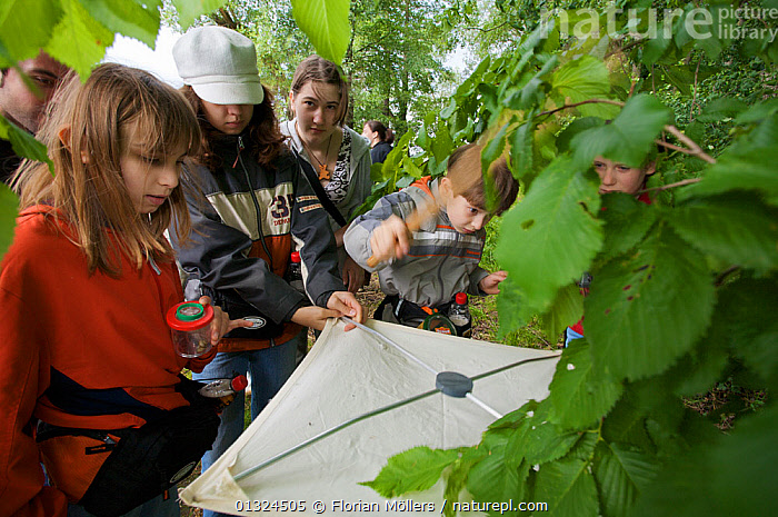 Children and adults collecting insects on sheet below bushes, Berlin, Germany, June 2006  ,  ARTHROPODA,ARTHROPODS,CAUCASIAN,CHILDREN,EDUCATION,EUROPE,GERMANY,GROUPS,INSECTS,RESEARCH,Invertebrates  ,  Florian Möllers