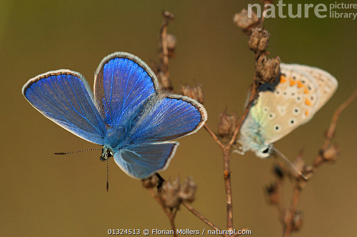 Two Common blue butterflies (Polyommatus icarus)warming up, one with wings open, one with wings closed, Berlin, Germany, July  ,  ARTHROPODS,BLUE,BUTTERFLIES,EUROPE,GERMANY,INSECTS,INVERTEBRATES,LEPIDOPTERA,LYCAENIDAE,SUNNING,TWO  ,  Florian Möllers