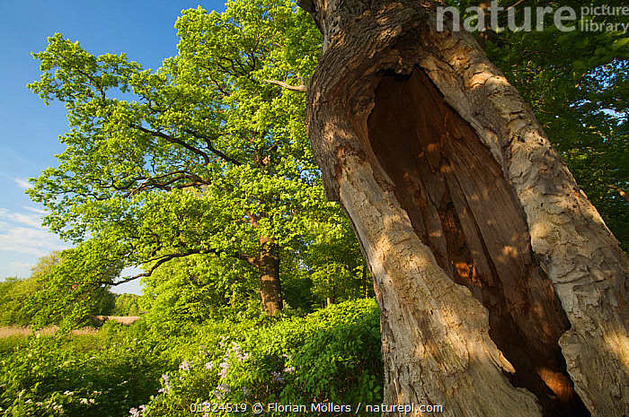 Dead and hollow trunk of European Oak tree (Quercus robur) Pfaueninsel, Berlin, Germany, May  ,  DICOTYLEDONS,EUROPE,FAGACEAE,GERMANY,LOW ANGLE SHOT,PLANTS,TREES,TRUNKS  ,  Florian Möllers