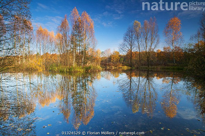 Birch trees (Betula sp) reflected in lake, Spandauer Forst, Berlin, Germany, November 2006  ,  EUROPE,GERMANY,LAKES,LANDSCAPES,REFLECTIONS,RESERVE,TREES,Plants  ,  Florian Möllers