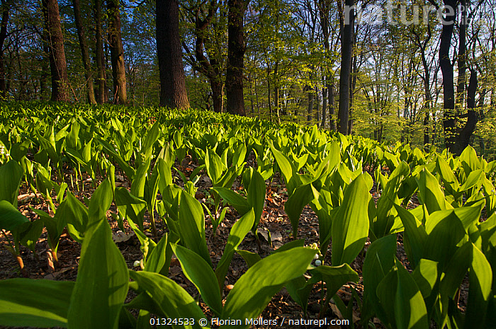 Lily of the Valley plants (Convallaria majalis) in a mixed deciduous forest, Boettcherberg, Berlin, Germany, April 2007  ,  EUROPE,GERMANY,HABITAT,LANDSCAPES,LEAVES,PLANTS,SPRING,WOODLANDS  ,  Florian Möllers