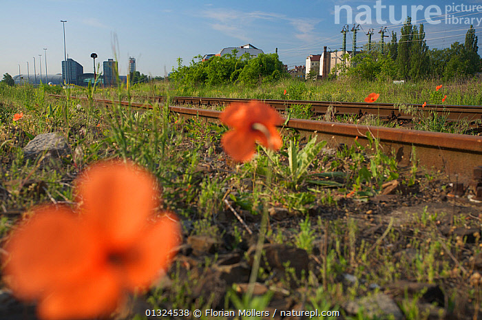 Poppies flowering and other vegetation on urban waste land close to Berlin central station, Berlin, Germany, May 2008  ,  Berlin,Berlin Central Station,catalogue3,CITIES,differential focus,disrepair,EUROPE,flowering,FLOWERS,focus on background,GERMANY,HABITAT,LANDSCAPES,nature,Nobody,orange colour,outdoors,Papaver,PLANTS,Poppies,Poppy,railway track,RAILWAYS,Rusty,selective focus,SUMMER,transportation,URBAN,vegetation,wasteland,Wildflower  ,  Florian Möllers