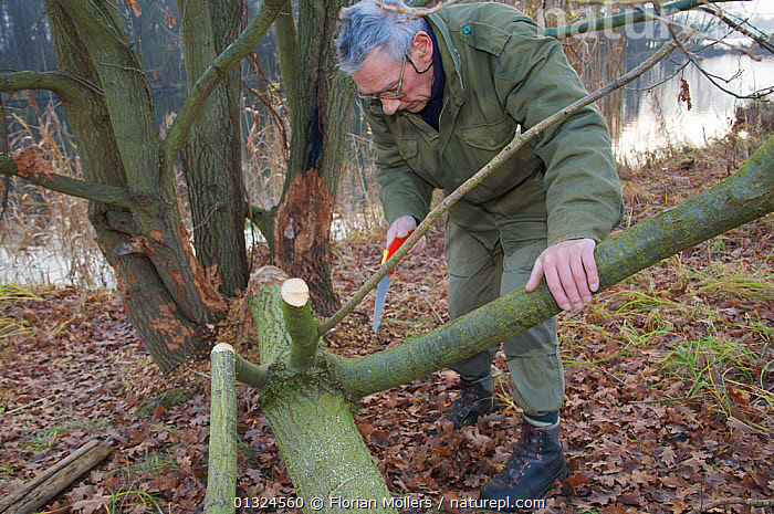 """Berlin's beaver expert, Willi Recker, checking a fallen tree for beaver activity, Berlin, Germany, November 2007  ,  """"WILLI"""",BEAVERS,CAUCASIAN,CONSERVATION,EUROPE,GERMANY,MAMMALS,MAN,OUTDOORS,PEOPLE,RESERVE,RODENTS,VERTEBRATES,WATER,WOODLANDS,WORKING  ,  Florian Möllers"""