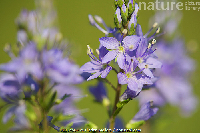 Large speedwell (Veronica teucrium) flowers, Berlin, Germany, May  ,  BLUE,DICOTYLEDONS,FLOWERS,GERMANY,PLANTS,SCROPHULARIACAEA,Europe  ,  Florian Möllers