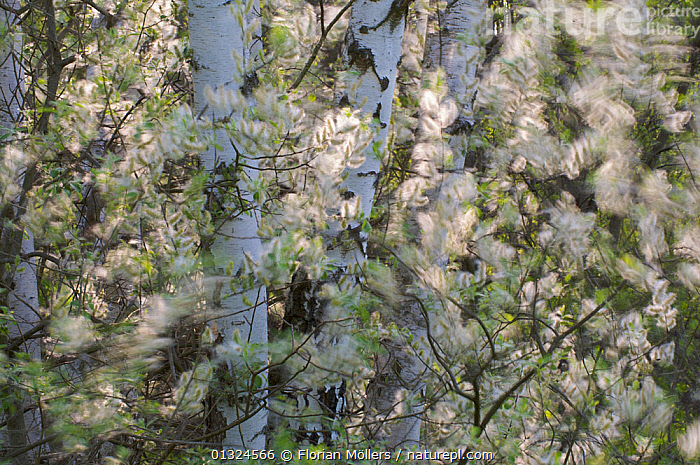 Willow flowers (Salix sp) amongst trunks of Birch trees (Betula sp), Germany, May  ,  ARTY SHOTS,DICOTYLEDONS,EUROPE,FLOWERS,GERMANY,PLANTS,SALICACEAE,TREES,TRUNKS  ,  Florian Möllers